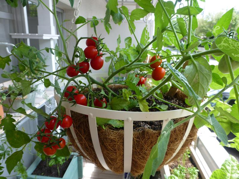 ハンギングミニトマト