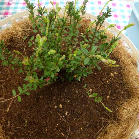 ツルコケモモ(クランベリー)とハーブの苗を植えつけました。