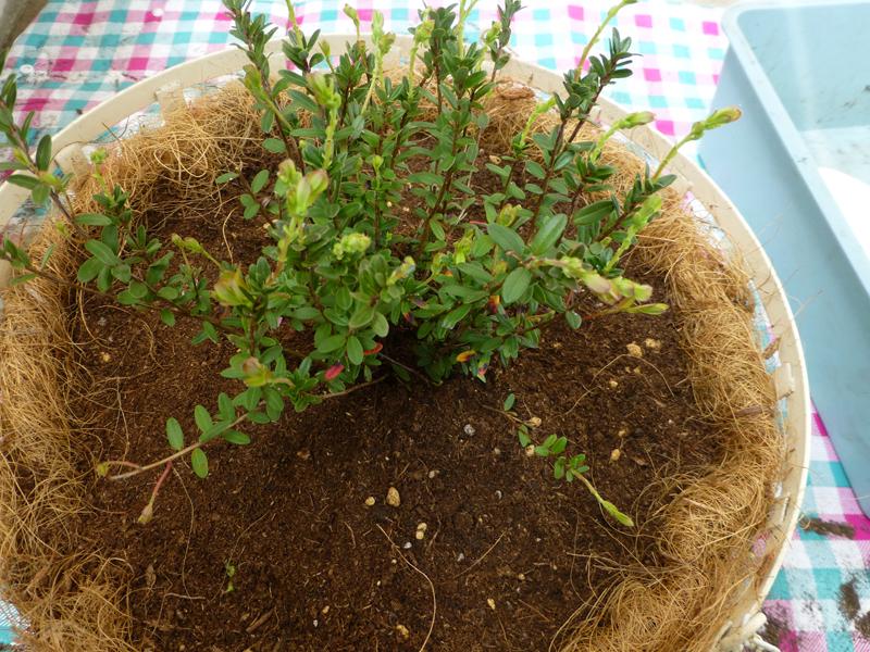 ツルコケモモ苗の植え付け