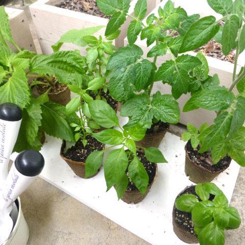 種から育苗した夏野菜&ハーブの定植と梅雨のベランダの今♪