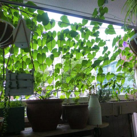 ベランダ、緑のカーテン「琉球朝顔」♪摘心してつるをたくさん出せば、思い通りにふさふさに生育してくれる。