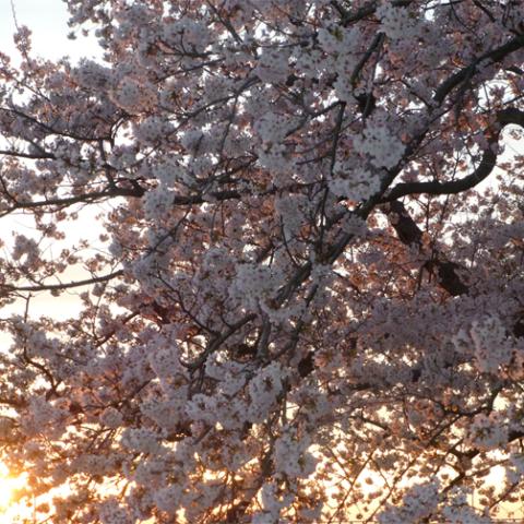 夕映えの桜
